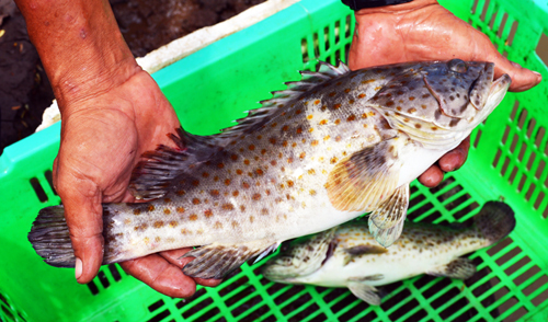Nuôi cá bống mú lãi cao