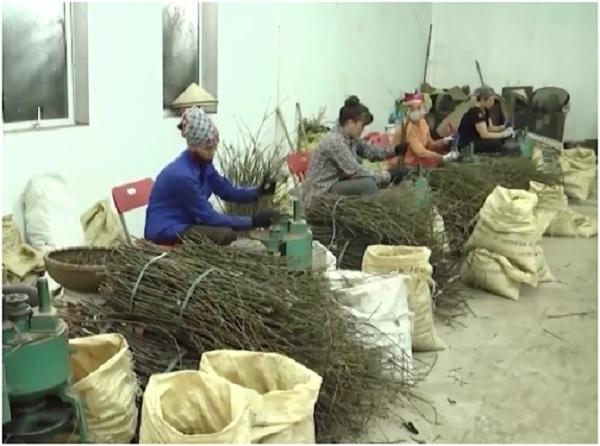 Tất cả các sản phẩm từ cây quế đều có giá trị: thân, cành, ngọn và lá là nguyên liệu sản xuất tinh dầu quế.