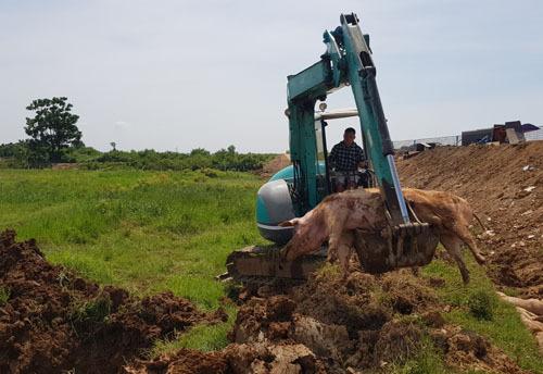 Tiêu huỷ lợn bị bệnh tả lợn châu Phi tại huỵện Chương Mỹ, Hà Nội. Ảnh: Tất Định.