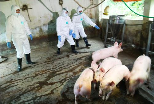 Việt Nam giữ được đàn lợn giống trong dịch tả châu Phi