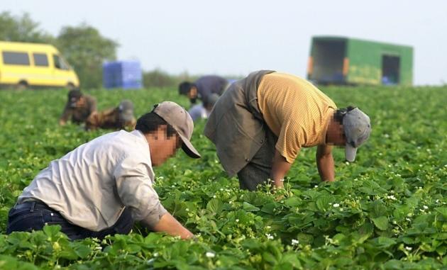 Người lao động Trung Quốc thu hoạch dâu tại một trang trại ở phía tây Norfolk, Anh. Ảnh: Eastern Daily Press.