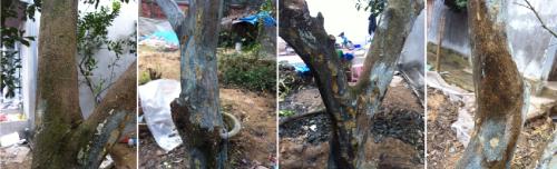 Triệu chứng của bệnh chảy gôm trên cây bưởi Diễn.