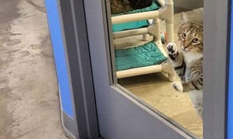 Mèo Quilty đang bị nhốt riêng. Ảnh: CNN.