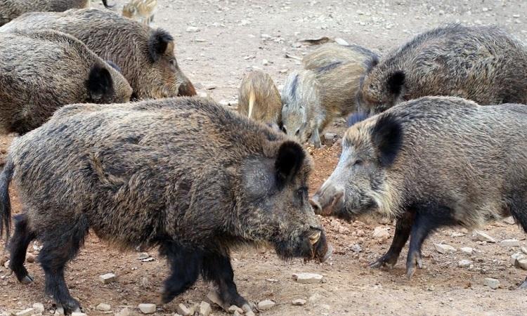Lợn hoang phá hủy túi ma tuý trị giá 22.000 USD