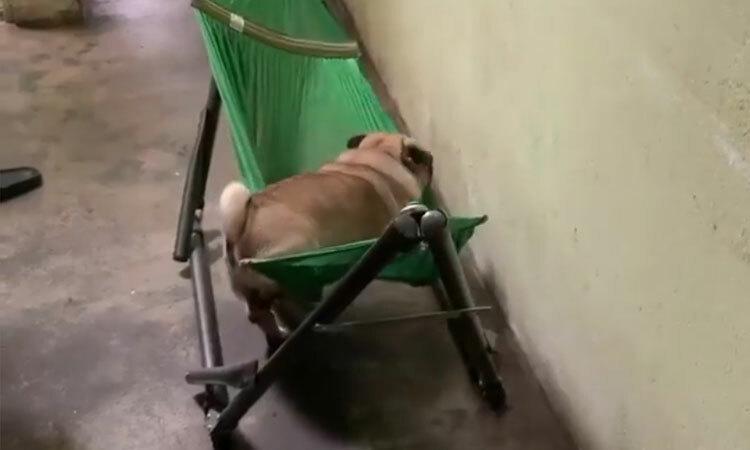 Cún cưng trèo lên võng ngủ ngon lành -