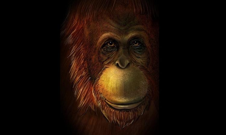 Hình dáng phục dựngcủa Gigantopithecus blacki. Ảnh: Live Sience.