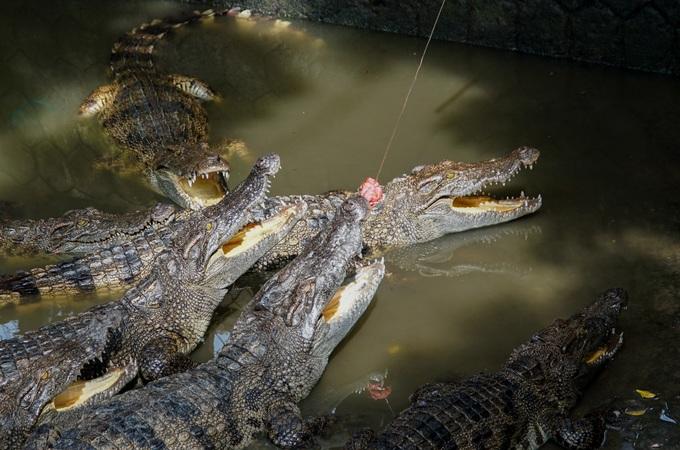 Thú câu cá sấu trên cù lao miền Tây