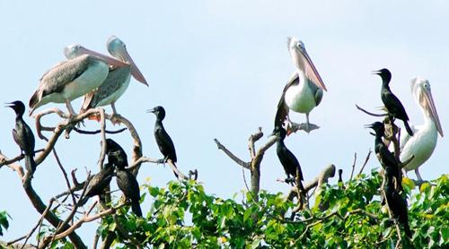 Bồ nông chân xám về cư trú tại Vườn chim Bạc Liêu. Ảnh: Phan Thanh Cường.