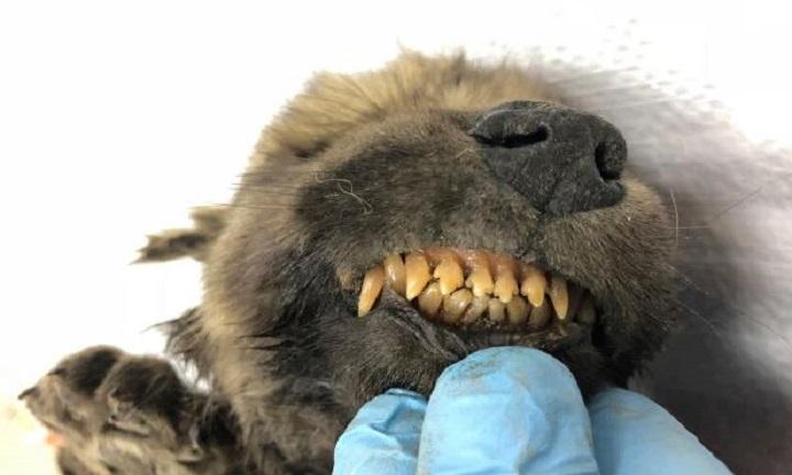 Hàm răng còn đầy đủ của con chó cổ đại. Ảnh: Sun.