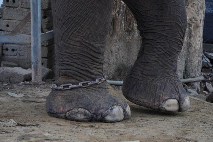 Chân chúng thường xuyên bị xích. Ảnh: Trần Hóa.