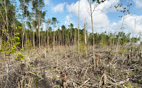 Nhiều vạt rừng ở Tiểu khu 136 bị lâm tặc chặt phá. Ảnh: Hoàng Hạnh.