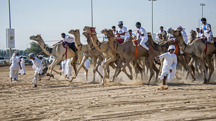 [Caption]The National Day Camel Marathon is also a prestigious event, featuring more than 100 participants. The marathon takes places across 15 miles (25km), making it the longest camel race in the United Arab Emirates.