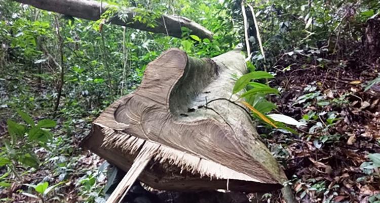 Nhiều cây gỗ bị chặt hạ song chưa kịp vận chuyển ra khỏi rừng. Ảnh: Lê Hoàng.