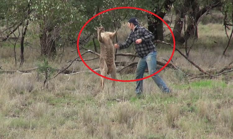Kangaroo bị đánh vì tấn công chó nhà -
