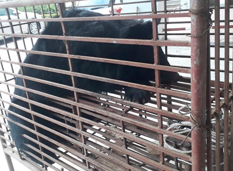 Khởi tố vụ án vận chuyển gấu ngựa - ảnh 1