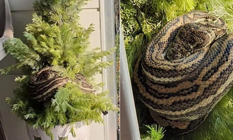 Phát hiện trăn dài 3 mét trên cây thông Noel - ảnh 1