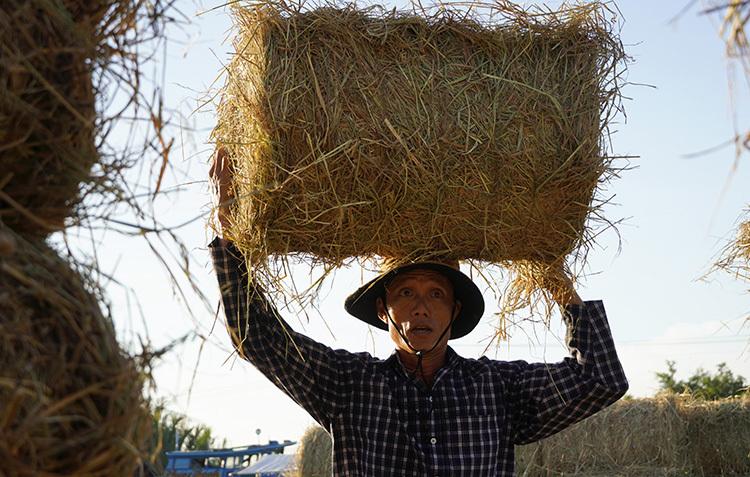 Công nhân vác rơm từ ghe lên xe công nông. Ảnh: Hoàng Nam