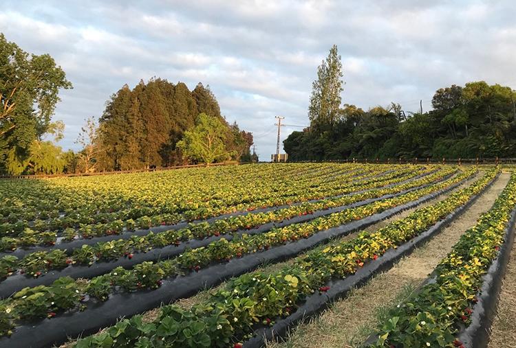 Nông trại dâu ở Christchurch nơi Tùng lần đầu tiên được trải nghiệm thu hoạch dâu.