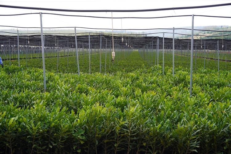 Vườn ươm macca ở xã Dlie Ya, huyện Krông Năng. Ảnh: Trần Hóa.