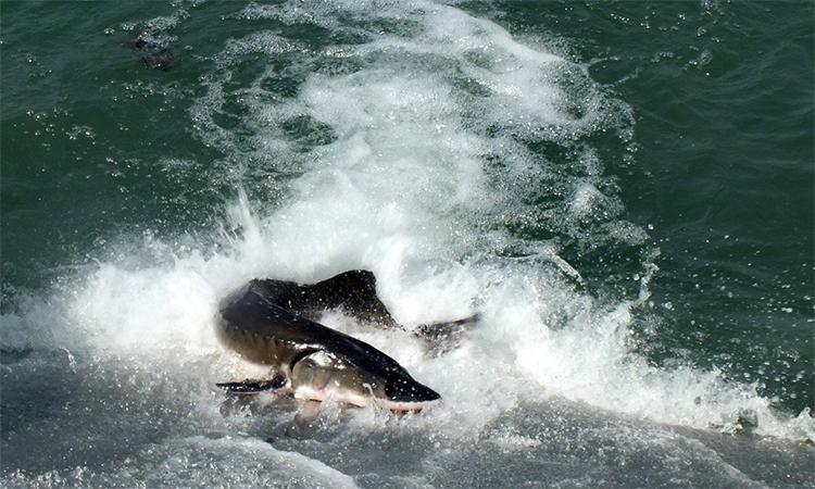 Một con cá tầm Trung Quốc, loài bị đe dọa nghiêm trọng, đang bị bắt trên sông Trường Giang năm 2015. Ảnh: VGC.