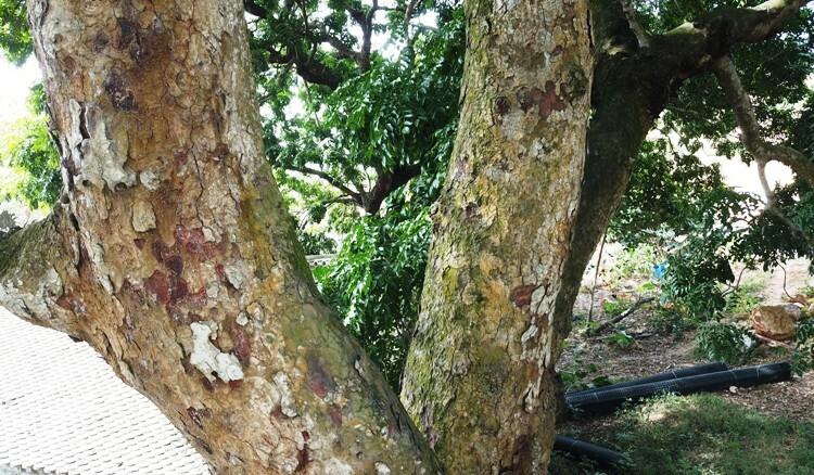 Theo ông Hoàng Văn Khánh, thủ Nghè Hà Phú, 2 cây này có khoảng 500-600 năm tuổi. Ảnh: Giang Chinh