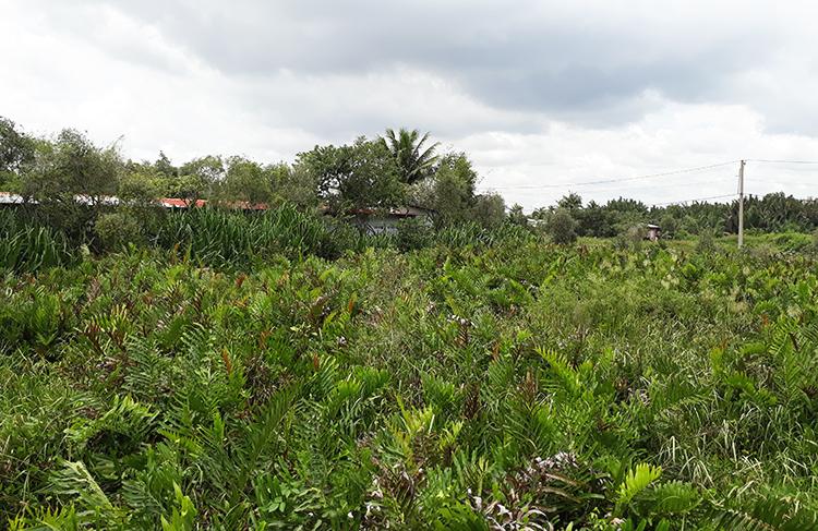 Nông trường dừa ở quận 9 trước đây được giao cho Công ty TNHH MTV Dịch vụ Du lịch Thủ Đức (thuộc Tổng công ty Du lịch Sài Gòn) quản lý. Ảnh: Trung Sơn