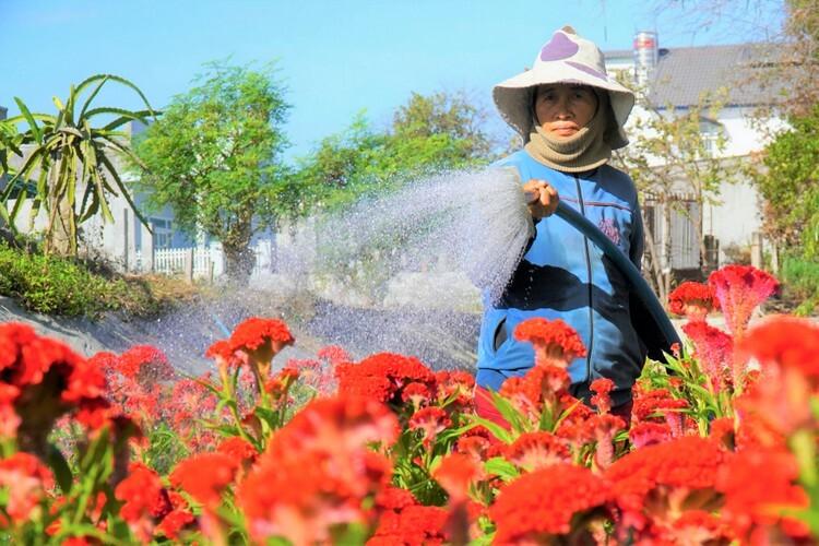 Bà Đồng Thị Bảy cho biết hoa gần bán phải tưới nhiều nước để giữ độ ẩm. Ảnh: Việt Quốc
