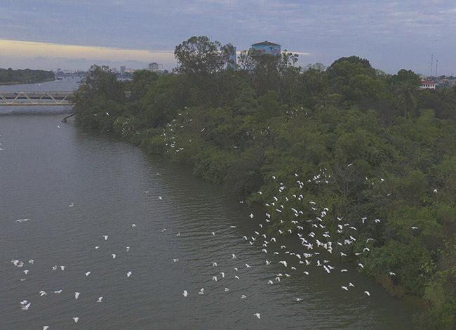 Nhiều đàn cò chọn cồn Dã Viên bên sông Hương trú ngụ qua đêm. Ảnh: Võ Thạnh
