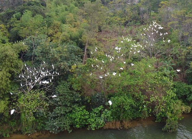 Cò chon các cây xanh sát mép nước để ngủ. Ảnh: Võ Thạnh