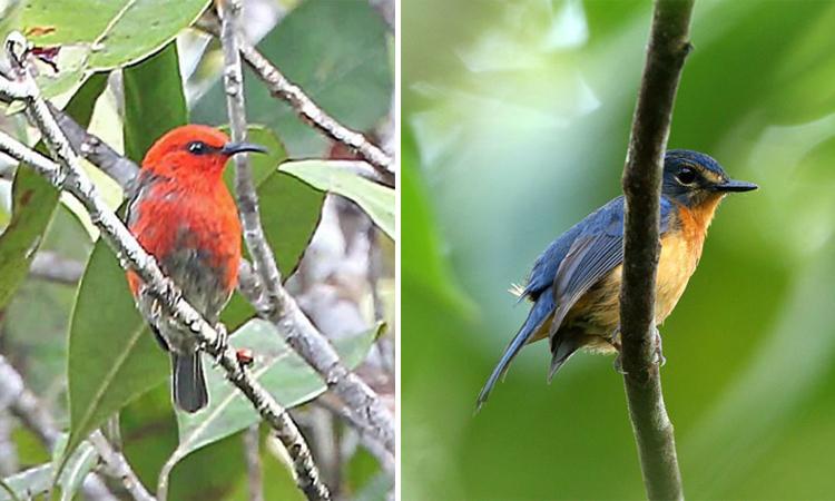 Chim ăn mật Taliabu Myzomela (trái) và chim bắt ruồi nhiệt đới Togian. Ảnh: Newsweek.