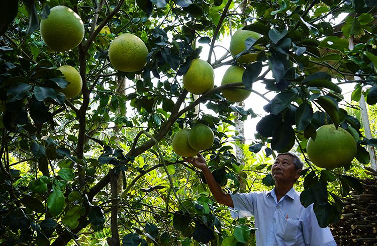 Một gốc bưởi thúng sai trái của nông dân xã Đạo Thạnh. Ảnh: Hoàng Nam