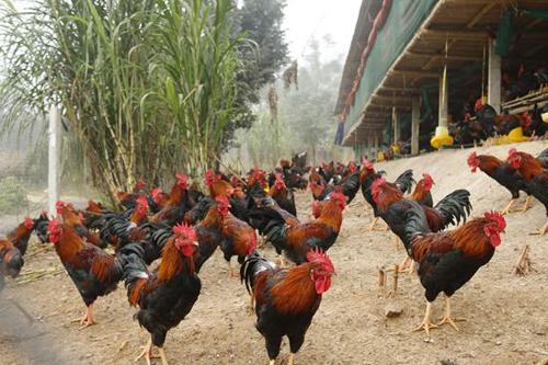 HTX An Phú phát triển mô hình nuôi gà vườn - chuồng.