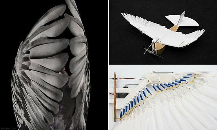 So sánhhai khớp cánh, cổ cánh và các đốt khớp giữa chim bồ câu vàPigeonBot. Ảnh: Longrom