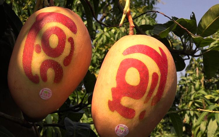 Xoài in chữ thư pháp đỏ tại vườn nhà nông dân Bùi Văn Thức. Ảnh: Cửu Long