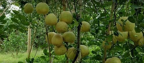 Mỗi cây bưởi Đoàn Hùng cho thu hoạch từ 100 – 150 quả.