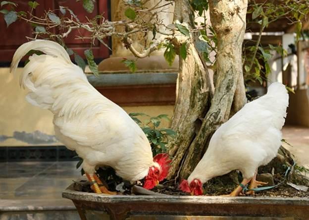 Giá trị của cặp gà bạch tuyết từ 15 - 20 triệu đồng.