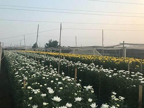 Làng hoa Tây Tựu có tổng diện tích trồng hoa gần 200 ha. Hoa ở đây được trồng gối vụ quanh năm, nhưng vụ hoa phải dồn nhiều công sức và được mong chờ nhất là mỗi dịp Tết đến. Trước tết Canh Tý khoảng 3 tháng, người dân nơi đây bắt đầu lên kế hoạch mua con giống, xuống cây, chăm sóc, theo dõi thời tiết và hy vọng cho một mùa bội thu.