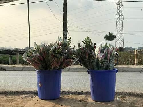 Trong nhiều năm trở lại đây, nhiều gia đình ở miền Bắc chuộng chơi hoa ly trong những ngày Tết bởi hoa giữ được lâu cùng hương thơm và màu sắc quyến rũ.