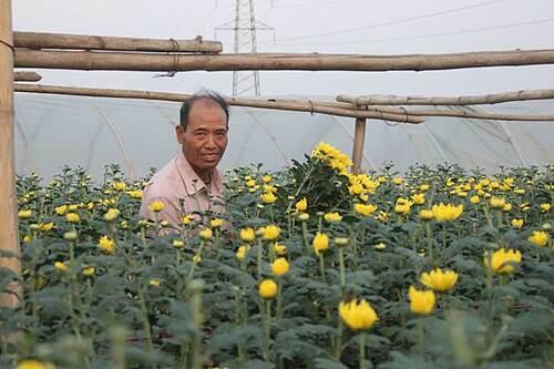 Hoa cúc được trồng nhiều nhất ở Tây Tựu, với nhiều màu sắc: vàng, trắng, tím... Những bông cúc vàng tượng trưng cho sự tươi mới, tăng thêm phúc lộc.