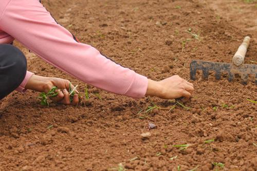 Một ngày ở nông trại rau hữu cơ hạnh phúc - 3