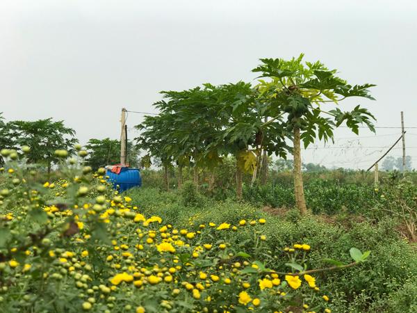 Để hạn chế sâu bệnh hại đu đủ, nông trại trồng xen canh với các luống hoa, cây dược liệu