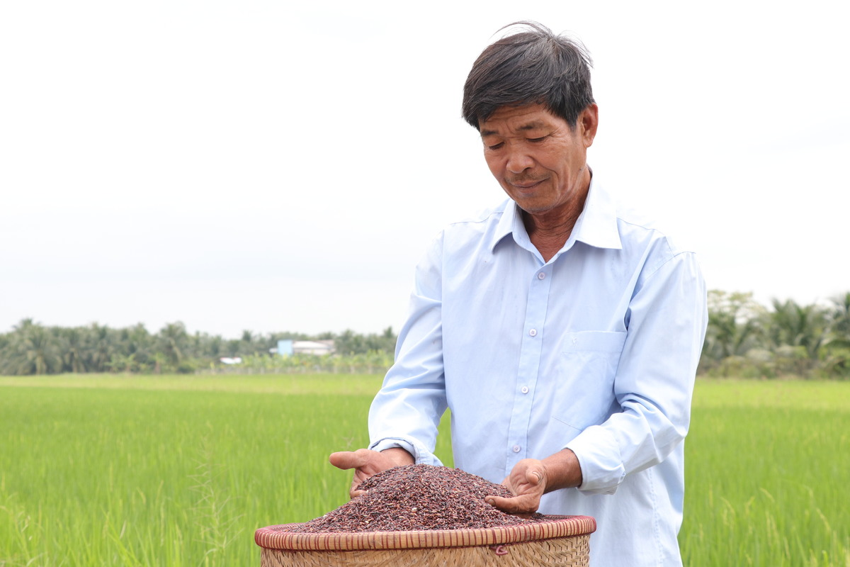 Photo of Ông nông dân miền Tây mê trồng lúa tím