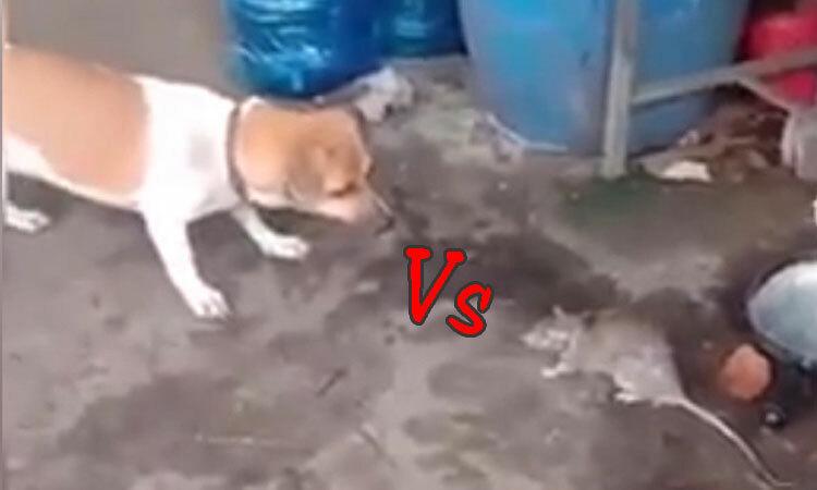 Chó khốn đốn khi đối đầu với chuột -