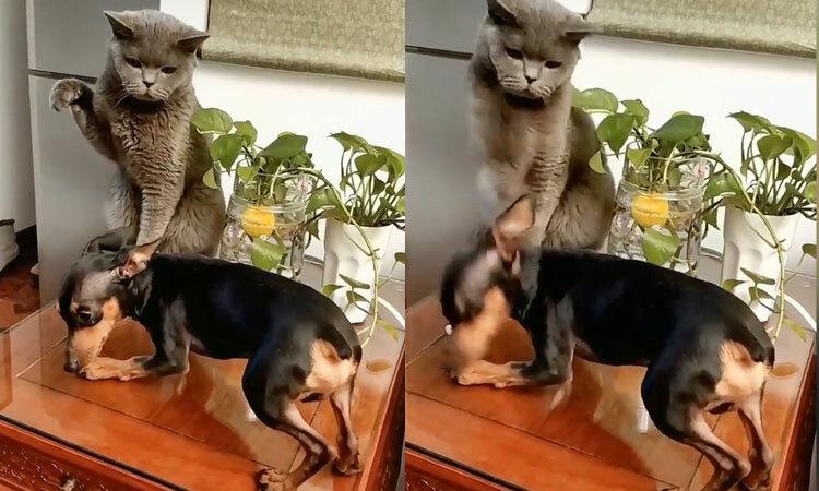 Chó bị mèo túm đầu tung cước vào mặt -