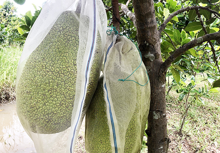 Mít Thái trồng tại huyện Châu Thành, tình Hậu Giang được bao trái. Ảnh: Cửu Long