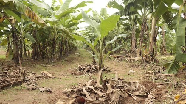 Sau khi trồng, phủ lá chuối khô lên gốc tạo độ che phủ.