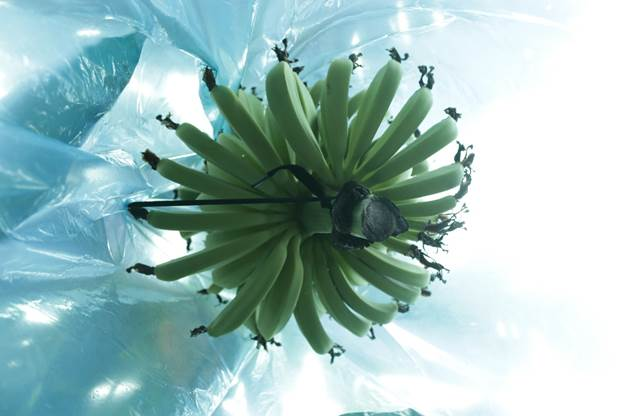 Buồng chuốibọc nilon để giữ hình thức đẹp và chống côn trùng.