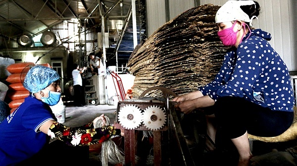 Hiện nay, có 2 cách sản xuất miến: dạng bánh, dạng sợi, lúc máy thái hoạt động, người thợ phải tập trung, tránh tai nạn lao động.