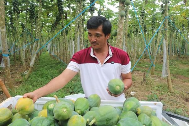 Anh Ngô Quốc Chiến, tổ viên trong Tổ hợp tác trồng đu đủ GlobalGAP xã Bình Giã, có kinh nghiệm trồng đu đủ từ năm 2013.
