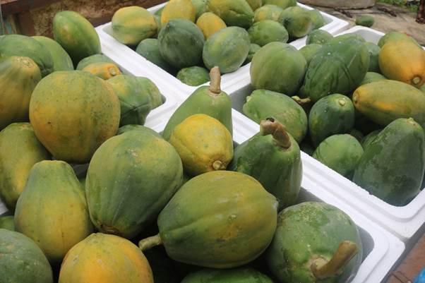 Đu đủ GlobalGAP1 quả dao động từ 7 lạng – 1kg, quả ngọt, thơm, thịt chắc.
